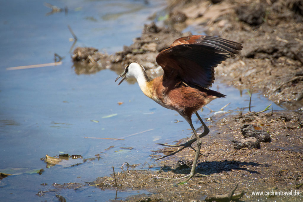 Jacana am Lake Panic