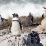 Pinguine am Stony Point